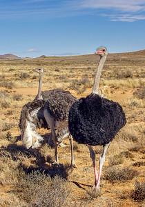 Ostrich, Eastern Cape