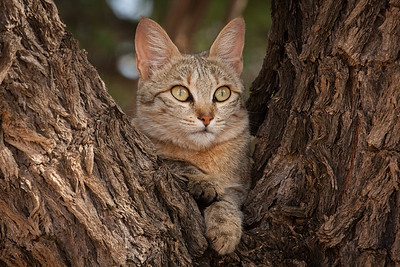 African Wild Cat in Kamelthorn tree, Kalahari Desert