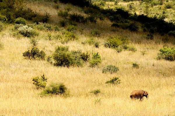African Elephant, Pilanesberg National Park, South Africa