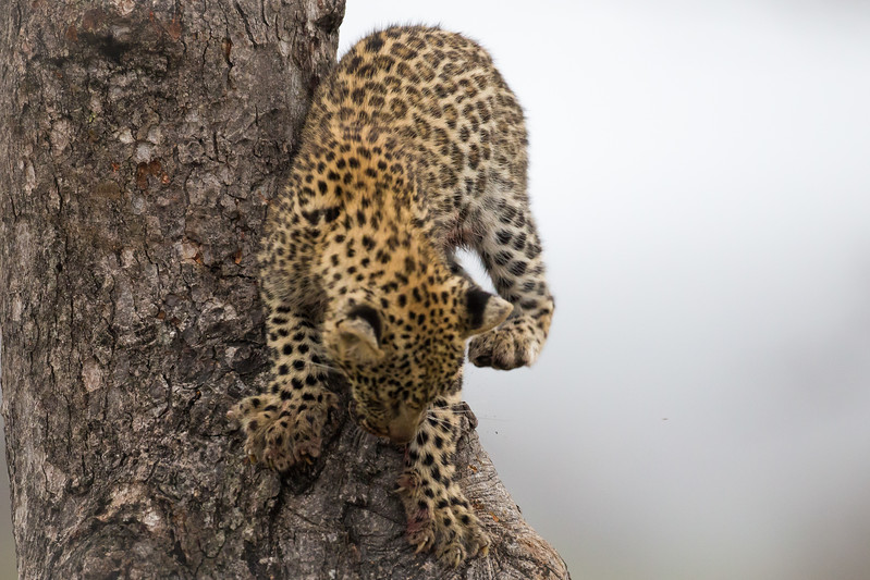 Leopard Cub, Londolozi, Sabi Sands Game Reserve, South Africa