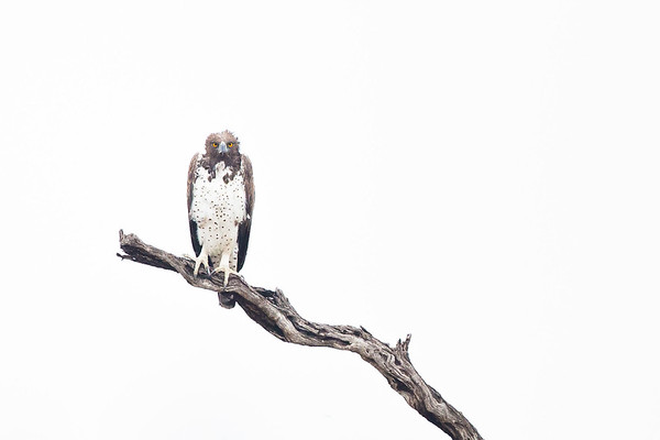 Martial Eagle, Londolozi, Sabi Sands Game Reserve, South Africa