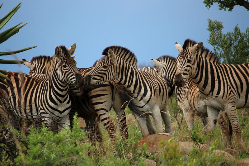 Zebras in the bush