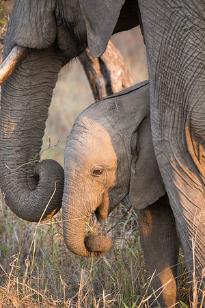 Baby Elephant and Mother, Tanda Tula, Timbavati Game Reserve, South Africa