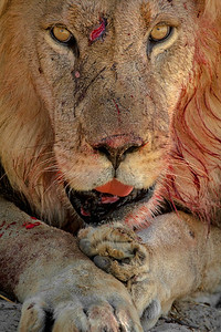 Lion stare, Kalahari Desert