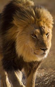 Dark-maned lion, Kalahari Desert