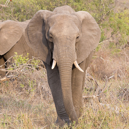 Elephant, Tanda Tula, Timbavati Game Reserve, South Africa