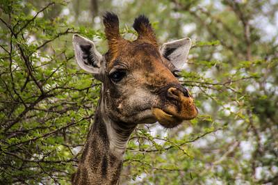 Giraffe, Kapama