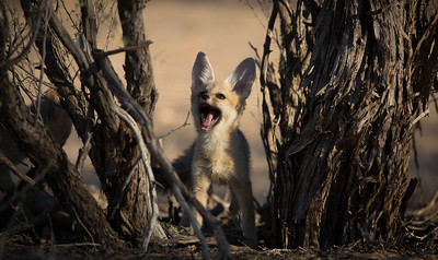 Cape Fox cub playing hide-and-seek, Kalahari Desert