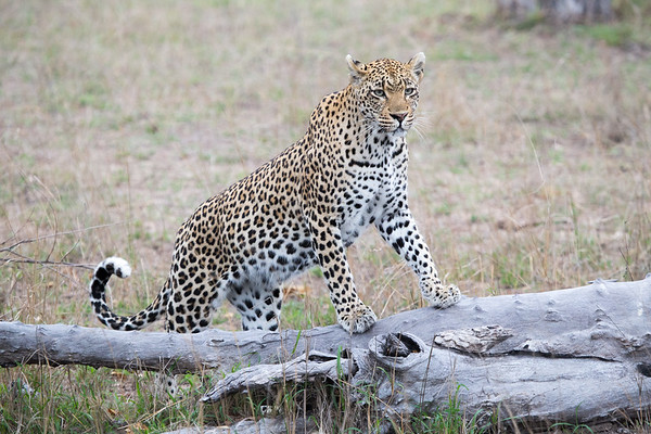 Photgenic Leopard, Londolozi, Sabi Sands Game Reserve, South Africa