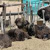 388 Cango Ostrich Farm, Oudtshoorn