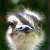 385 Cango Ostrich Farm, Oudtshoorn