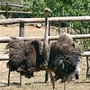 389 Cango Ostrich Farm, Oudtshoorn