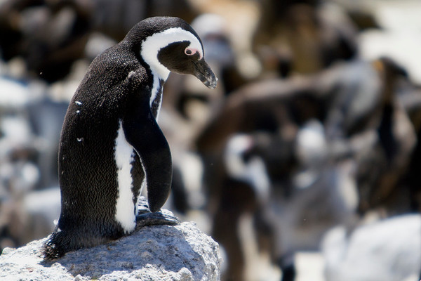 African penguins on Cape Peninsula, South Africa. ©Rebecca Boyd 2016. All rights reserved.