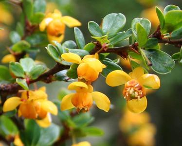Calafate flower