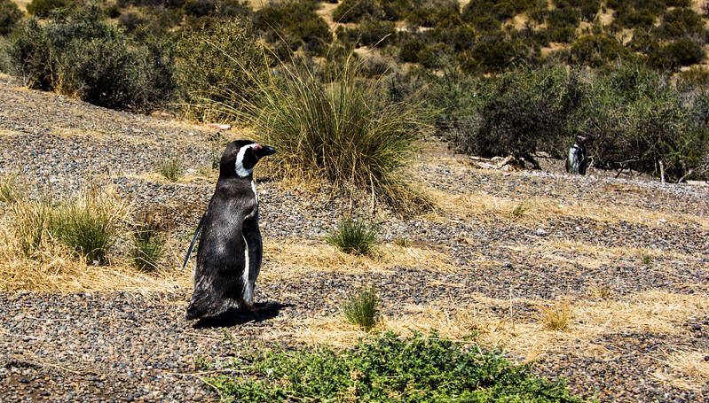 Penguins1_005