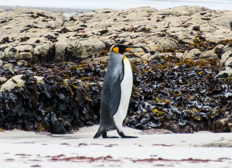 Penguins2_113