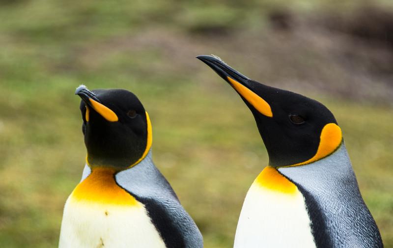 Penguins2_119