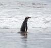 Penguins2_074