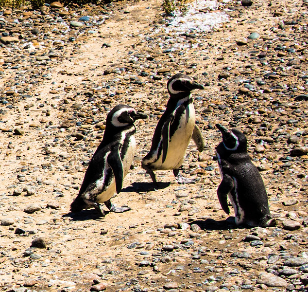 Penguins1_032
