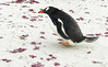 Penguins2_085