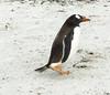 Penguins2_086