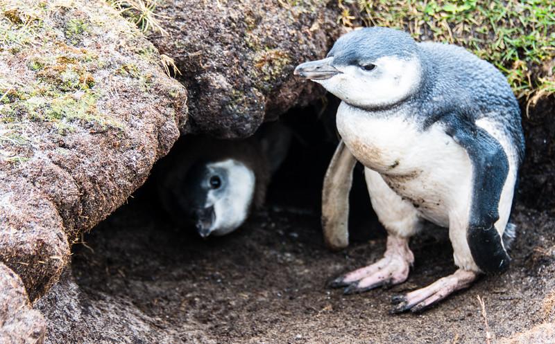 Penguins2_106