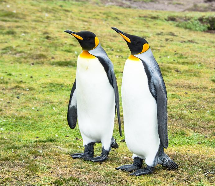 Penguins2_121