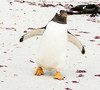 Penguins2_081