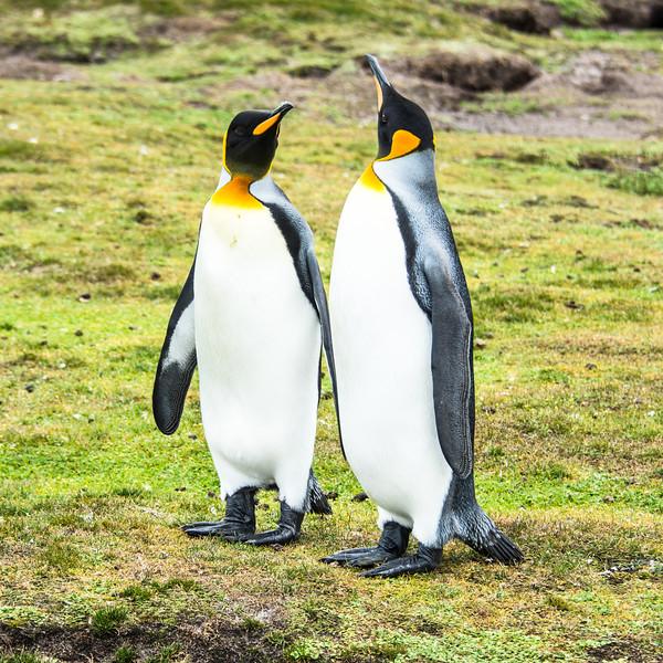 Penguins2_118