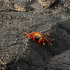 Red Crab, Galapagos