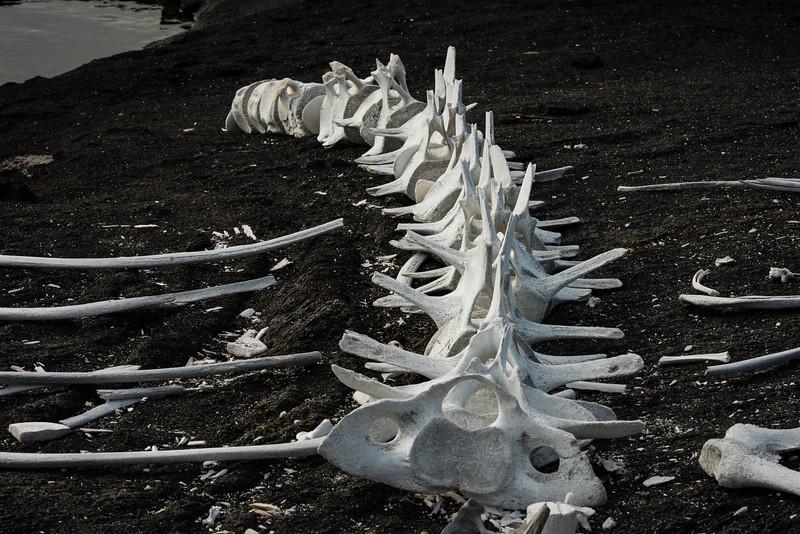 Whale bones on Isabela Island, Galapagos