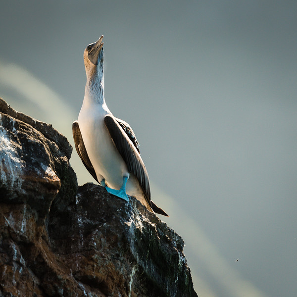 a Blue-footed Booby, Isabela Island, Galapagos
