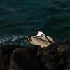 Sleeping Pelican, Galapagos