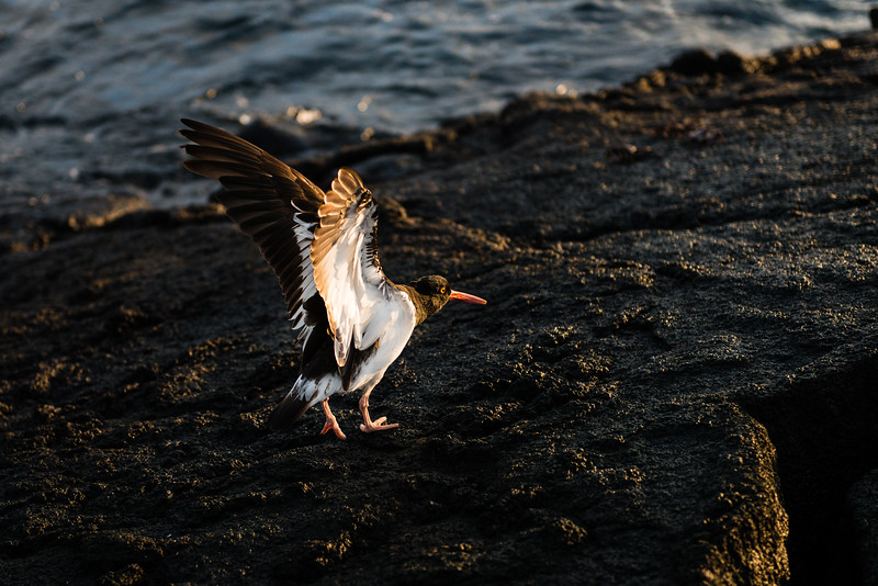 Oyster Catcher, Galapagos
