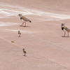 Birds of Argentina - A Southern Lapwing