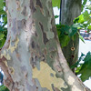 The peeling bark of an American Sycamore Tree in Buenos Aires Argentina