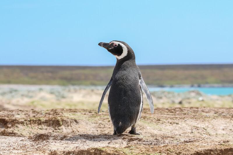 Megellanic penguin Falkland Island
