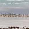 Gentoo penguins waddle on the glistening white sand
