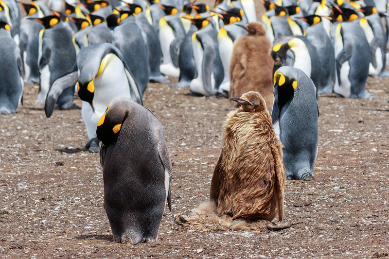 King penguin chick mourns the loss of a fellow chick