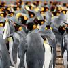 Discover Penguins at Volunteer Point Falkland Islands