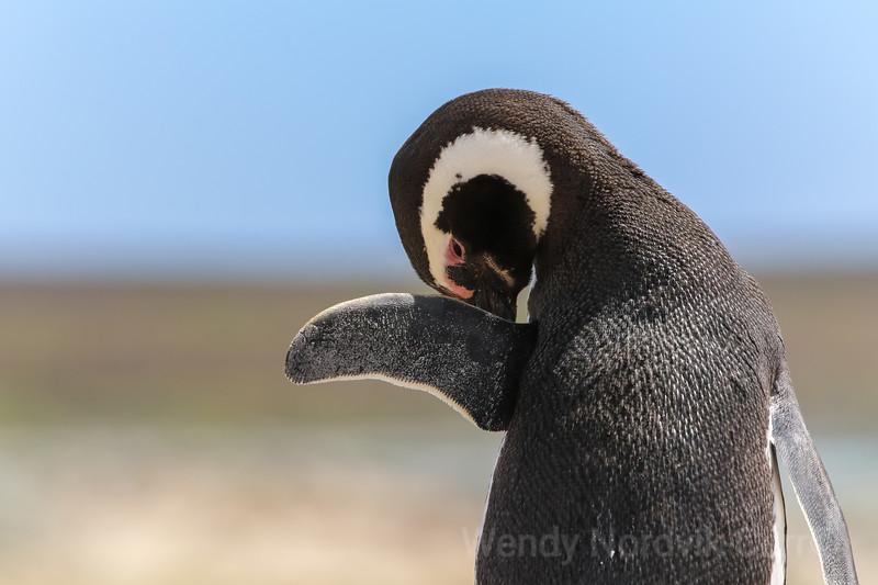 Megellanic penguins of Falkland Island