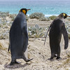 King penguins head out to the sea