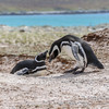 Nesting Megellanic penguins