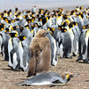 King penguins gather with malting King chicks