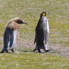 King penguin waddls toward the sea with a malting King chick