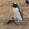 Nesting Gentoo penguin sits on egg
