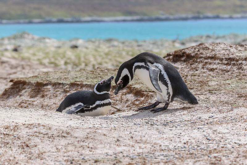 Nesting Megellanic penguins