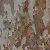 The peeling bark of an American Sycamore Tree in Montevideo, Uruguay