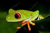 agalychnis callidryas,red eyed tree frog,roodoogmakikikker,rainette aux yeux rouges