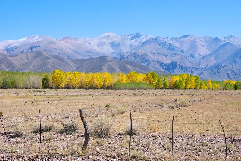 Poplars changing color near Uspallatta...